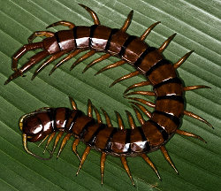 Giant Carnivorous Centipedes • Damn Interesting
