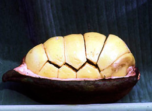The pod of the kola nut (photo by Bob Walker)
